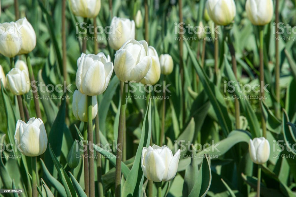 Tulips. a bulbous spring-flowering plant of the lily family, with boldly colored cup-shaped flowers. stock photo