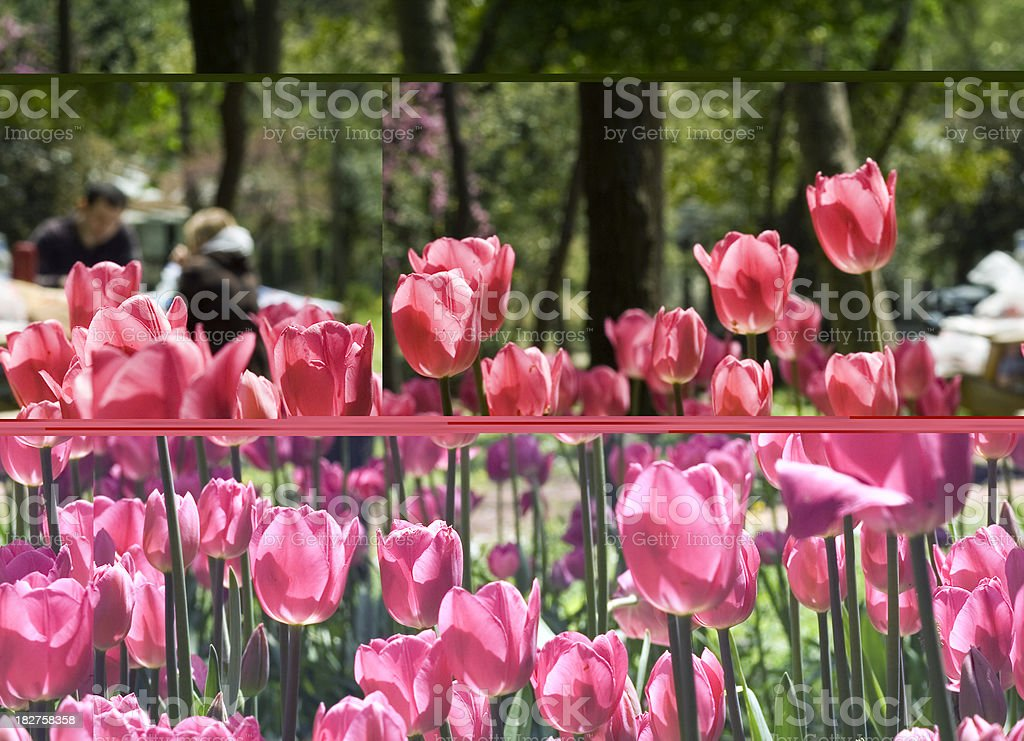 Tulips Abstraction royalty-free stock photo