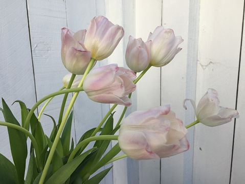 pink Tulips against a white fence