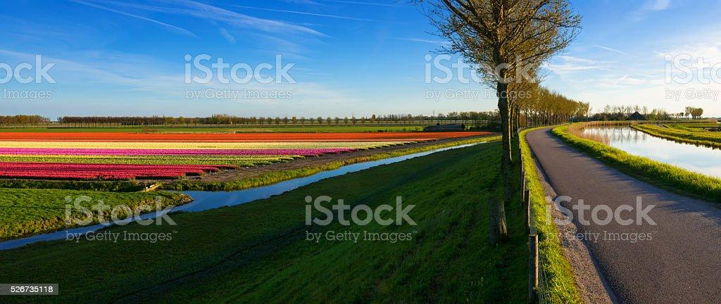 Tulips along a Dyke stock photo