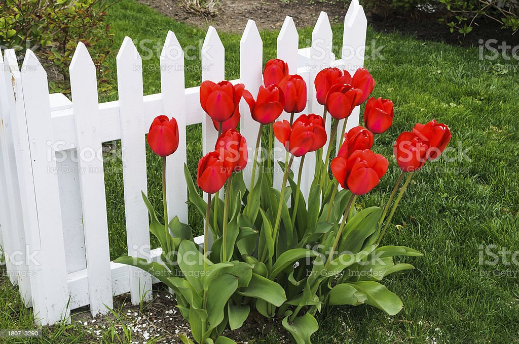 Tulips along the Fence royalty-free stock photo