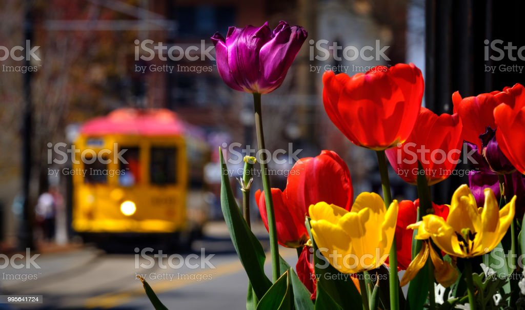 Tulips and a Trolley in Little Rock stock photo