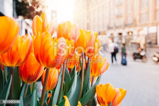 Close up view of Holland red and orange tulip flowers with green leafs on street of Amsterdam, Netherlands