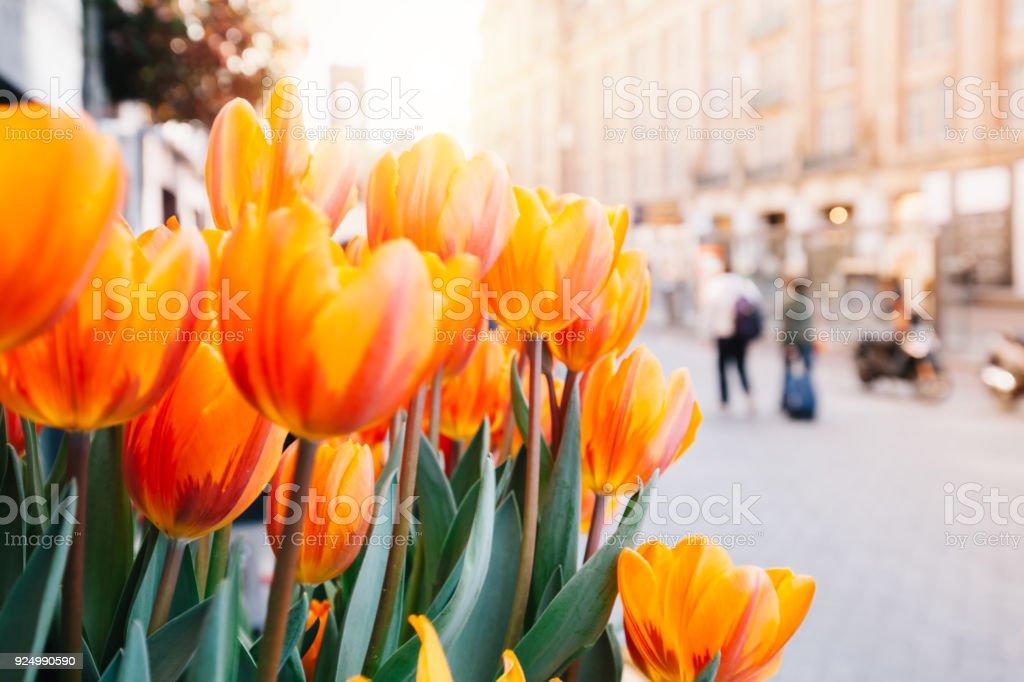 Tulips and Amsterdam stock photo