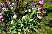 Tulips and Cherry blossom in an English garden in spring.