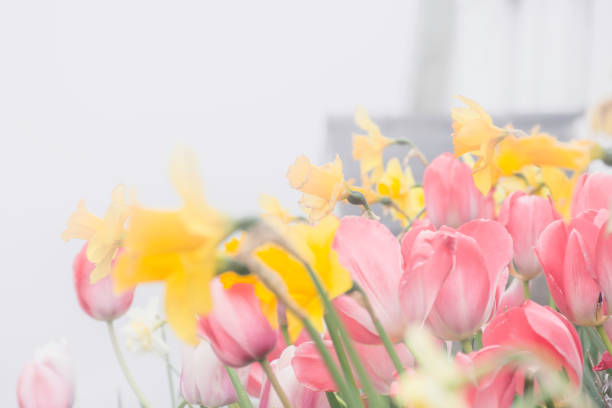 Tulips and daffodils on foggy morning. stock photo