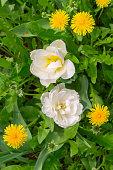 tulips and dandelions in the garden, top view