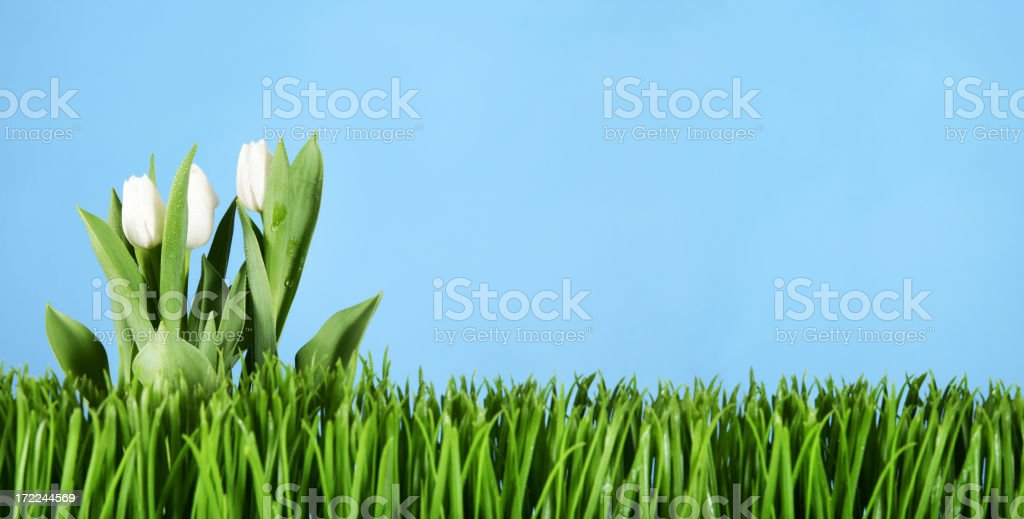 Tulips and grass royalty-free stock photo