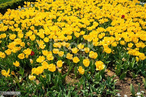 Tulip, Yellow, Backgrounds, Asia, Europe, Mosque, World Heritage Sites, Sultan Ahmet-Turkey