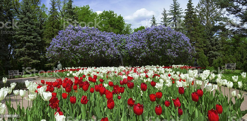 Tulips and lilacs in the spring garden royalty-free stock photo