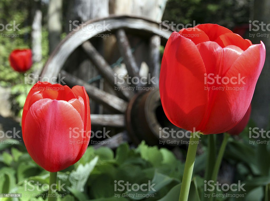 Tulips and Old Wagon Wheel royalty-free stock photo