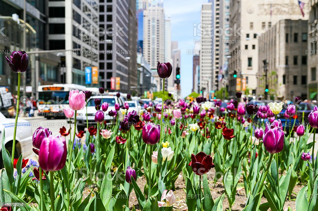 Tulips and Traffic stock photo