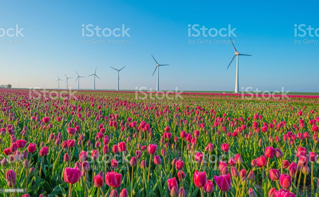 Tulips and wind turbines in a field in spring stock photo