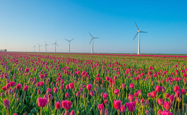 tulipes et éoliennes dans un champ au printemps - pays bas photos et images de collection