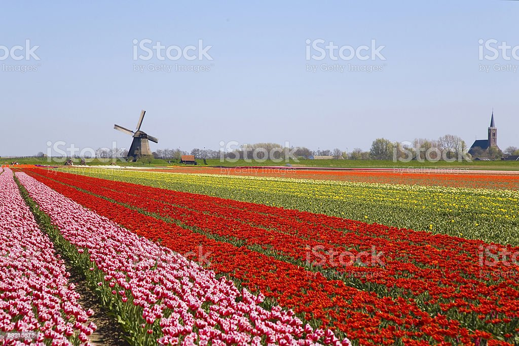 tulips and windmill 2 royalty-free stock photo