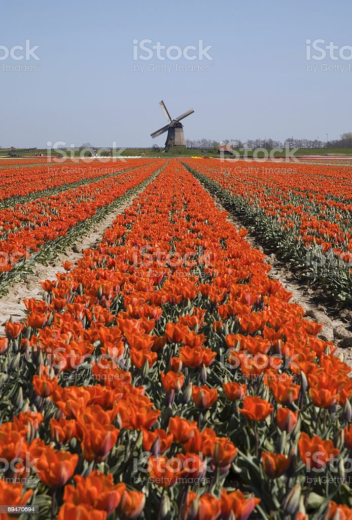 tulips and windmill 3 royalty-free stock photo