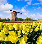 Yellow tulip field in front of a Dutch windmill under a nicely clouded sky