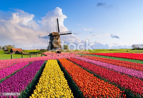 Nicely coloured tulip fields in front of a Dutch windmill under a nicely clouded sky