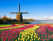 Colorful curved tulip fields in front of a traditional Dutch windmill and a smal house under a blue sky
