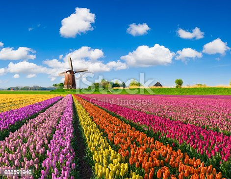 multi-colored tulip fields in front of a Dutch windmill under a nicely clouded sky.