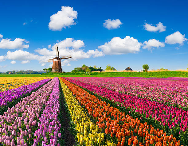 tulips and windmill - netherlands stockfoto's en -beelden
