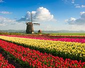 Colorful fields of tulips in front of a traditional Dutch windmill under a nicely clouded sky