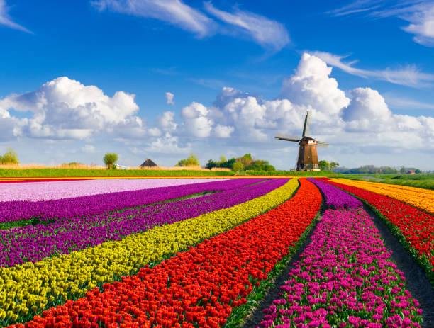 Tulips and Windmill stock photo