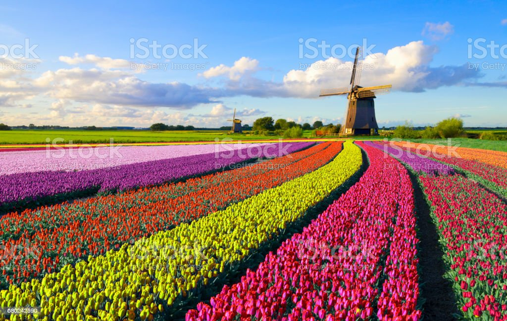 Tulips and Windmill - Royalty-free Agricultural Field Stock Photo