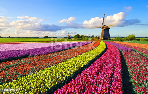 Colorful tulip field in front of a Dutch windmill under a nicely clouded sky
