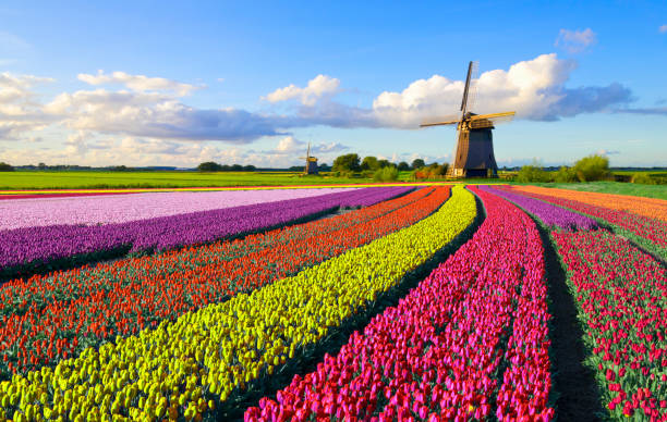 tulpen en windmolen - netherlands stockfoto's en -beelden