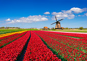 Colorful tulip field in front of a windmill under a nicely clouded sky