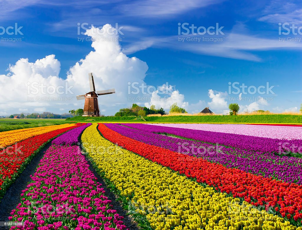 Tulips and Windmills stock photo