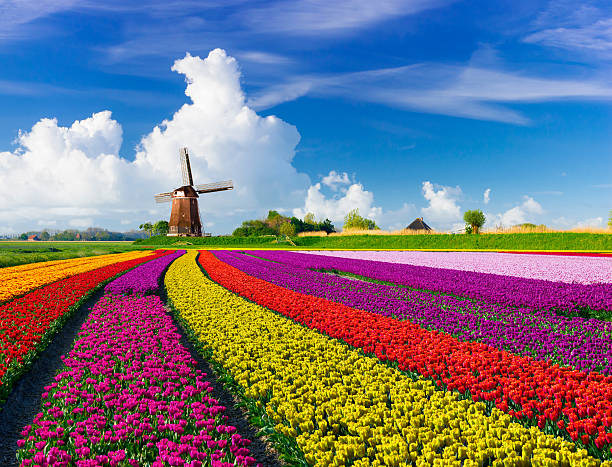 tulips and windmills - netherlands stockfoto's en -beelden