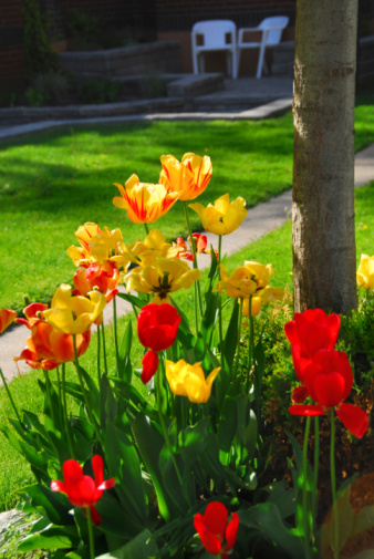 istock Tulips at a house 92221908