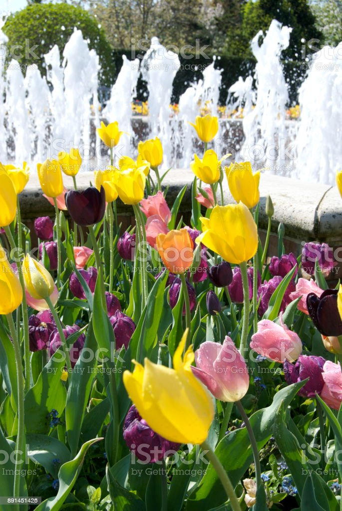 Tulips at Chicago Botanic Garden stock photo