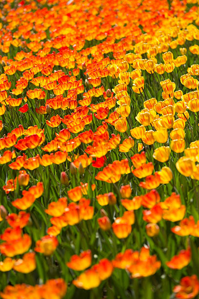 Tulipes arrière-plan - Photo