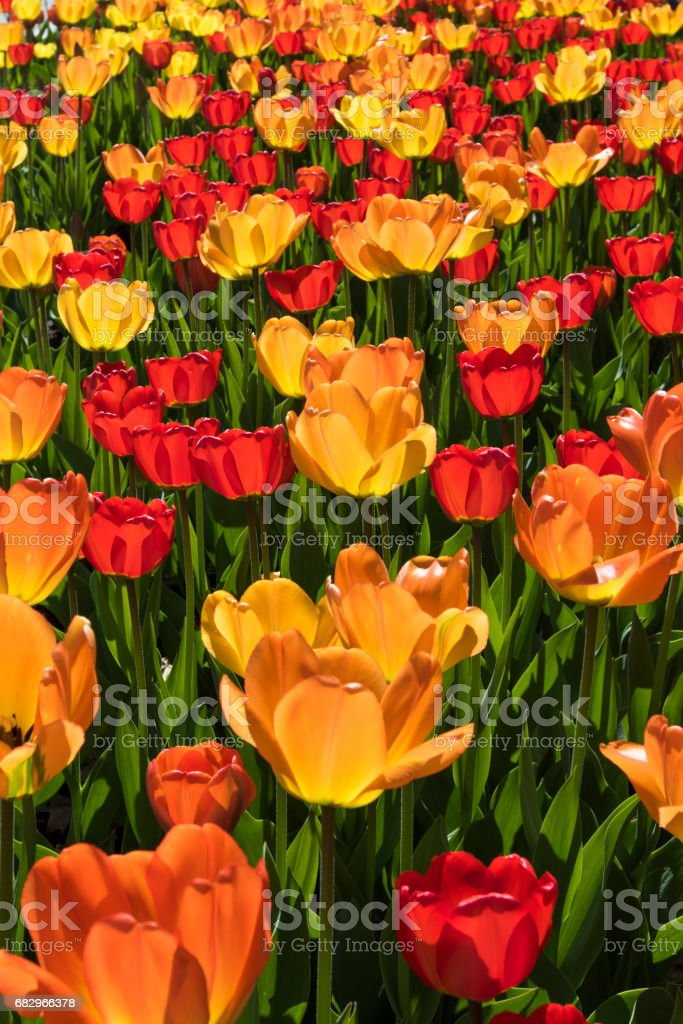 Tulips background royalty-free stock photo