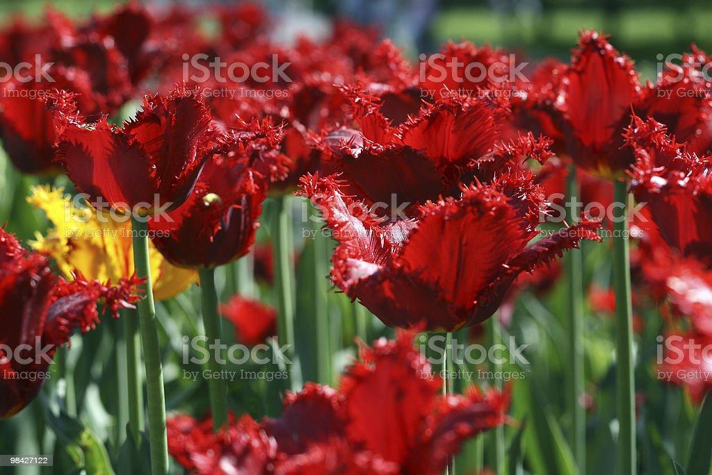 tulips background royalty-free stock photo