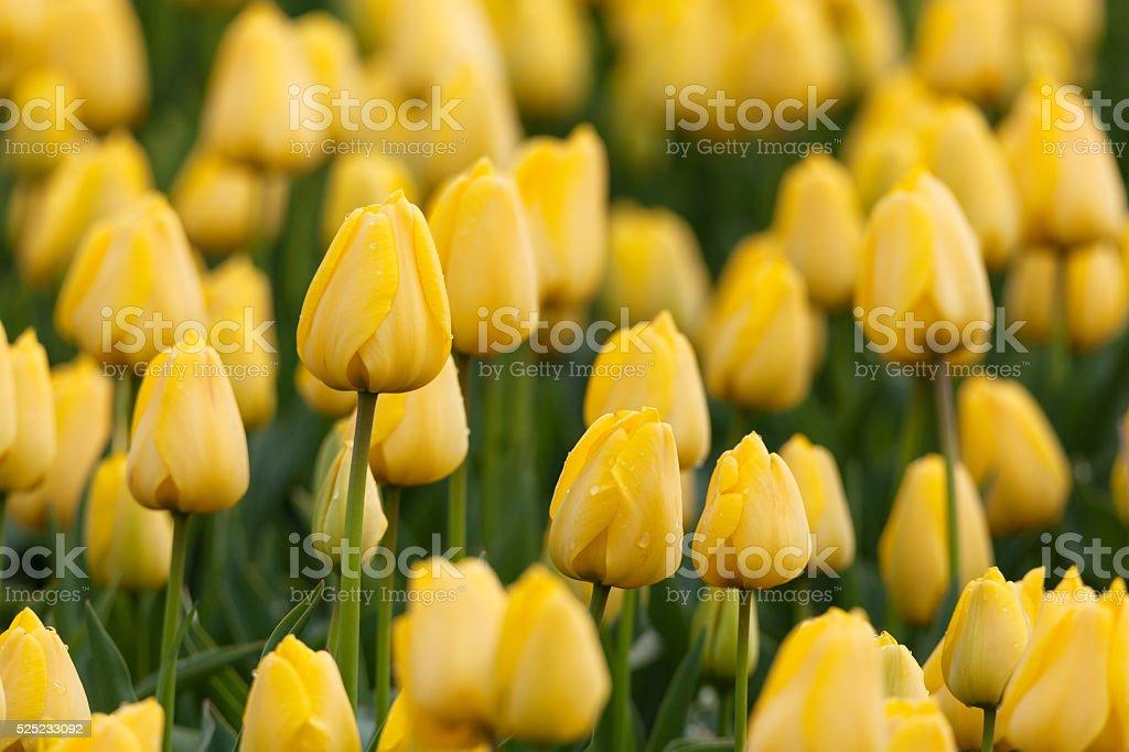 Fiori Gialli Bellissimi.Tulipani Bellissimi Fiori Gialli Nel Giardino Di Primavera Vivace