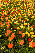 Personal perspective: Man standing above the tulip field in arboretum.