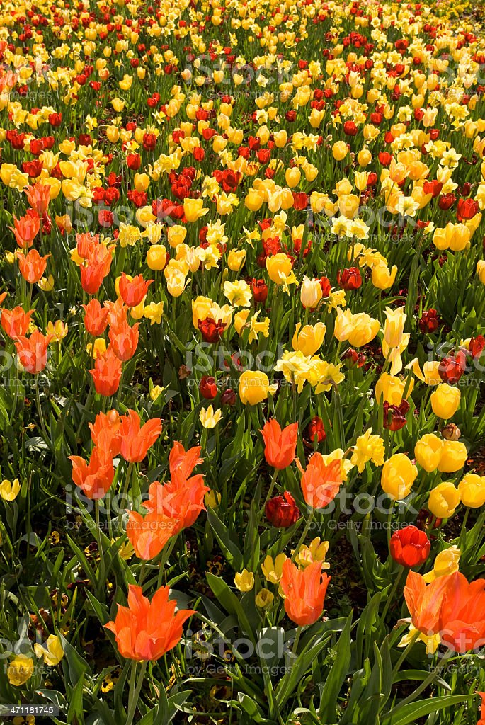 Tulips by the Thousands stock photo