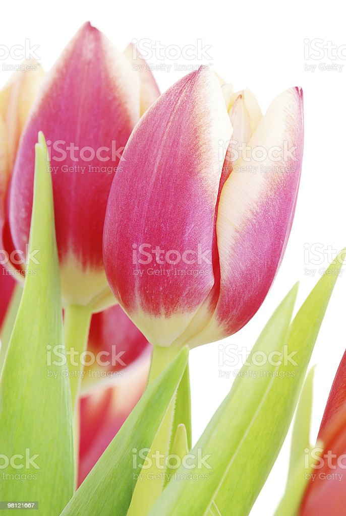 Tulips close up royalty-free stock photo