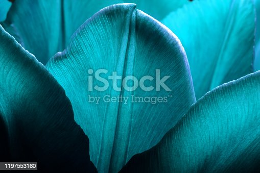 Tulips closeup macro. Petals of smooth aqua menthe color tulips close-up macro background texture