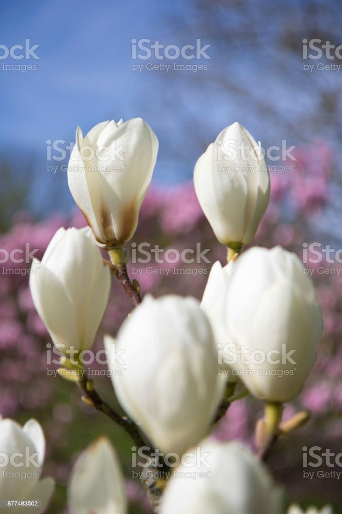 Tulipas, narcisos e flor de cerejeira na primavera - foto de acervo