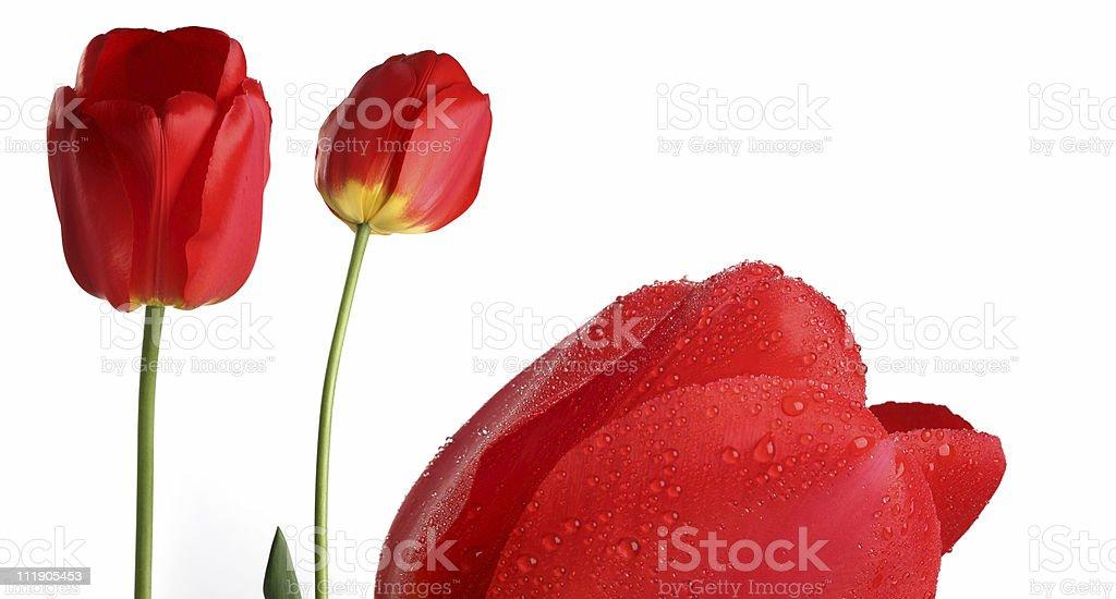 tulips, dew stock photo