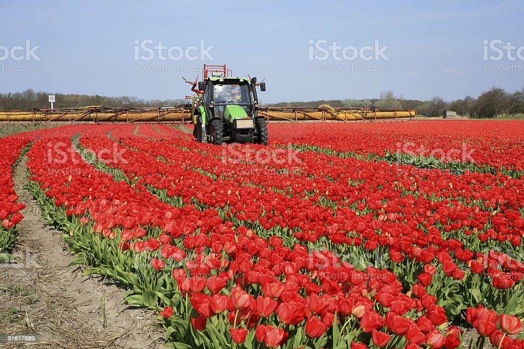Tulips farm in Netherlands. royalty-free stock photo
