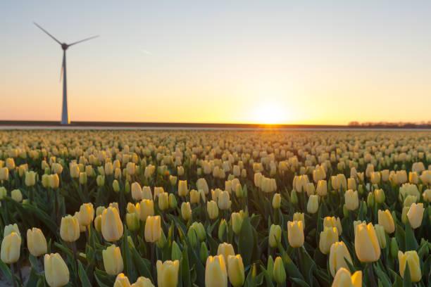 Tulips field stock photo
