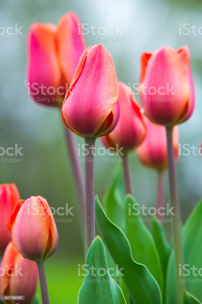 Tulips Field stock photo
