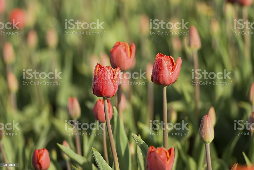 Tulips field royalty-free stock photo
