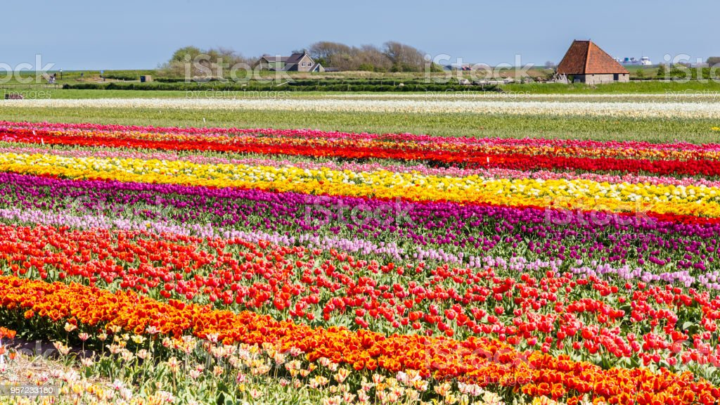 Tulpen veld Texel, Nederland foto